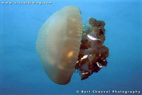 Jellyfish Stings|Signs|Symptoms|First Aid|Treatment|Prevention